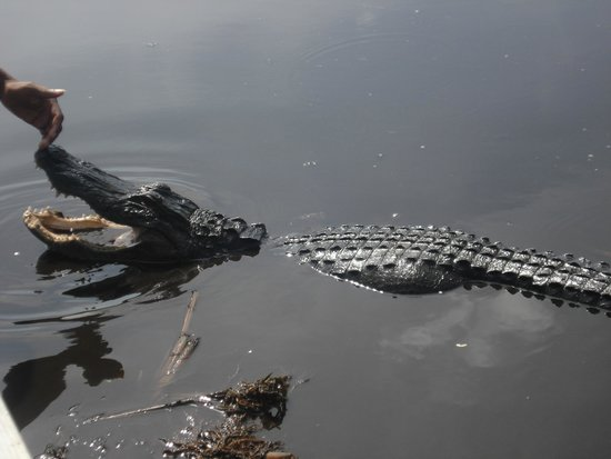 Buffalo Tiger's Airboat Tours: alligator