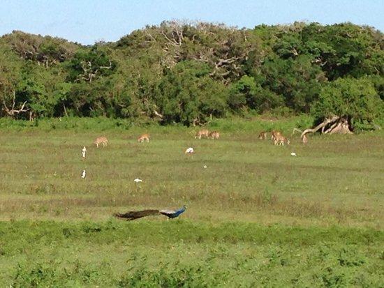 Yala National Park: Antilope, croc, paon