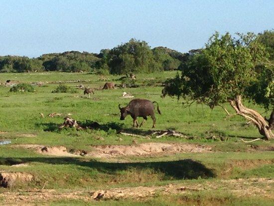 Yala National Park: Buffle