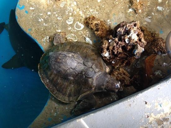Aracaju Aquarium : Tartaruga gigante.