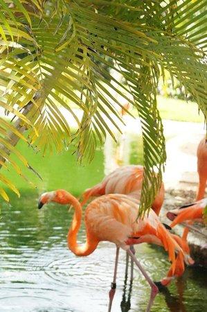 Iberostar Cozumel : Flamingos