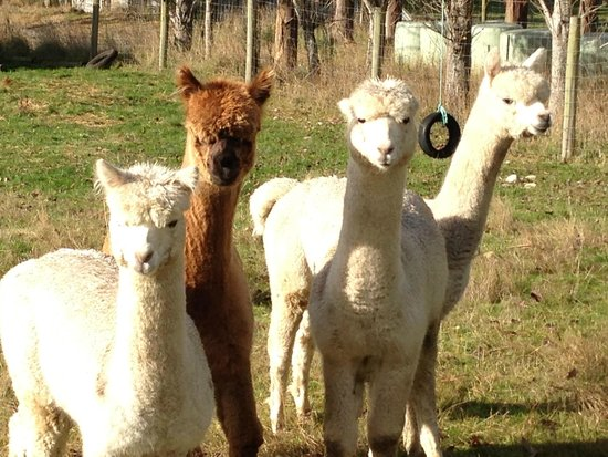 Blue Mountain Cottages/Lodge: Alpaca Farming!