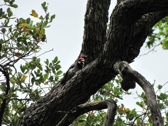 Cave Creek Canyon: acorn wood pecker