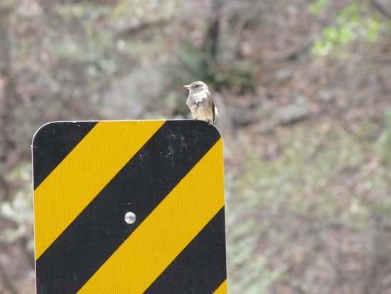 Cave Creek Canyon: baby fly catcher