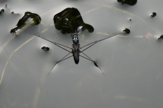 Freestyle Resort Port Douglas : Insect on the lily pads