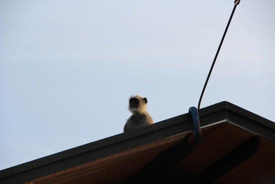 Cinnamon Wild Yala : Monkey standing guard!