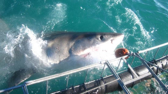 White Shark Diving Company: Shark at the cage