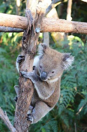 Phillip Island Nature Parks - Koala Conservation Centre : Cute koala