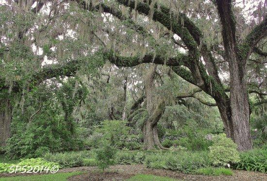 Brookgreen Gardens: Live oaks
