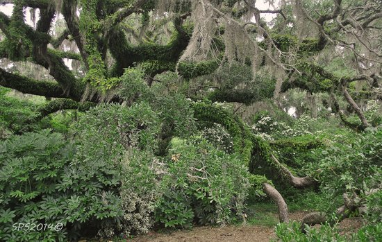 Brookgreen Gardens: Live oaks and spanish moss