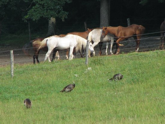 Cades Cove Riding Stables: Turkeys