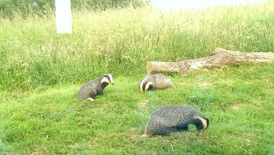 North Buckham Farm: Badger watching