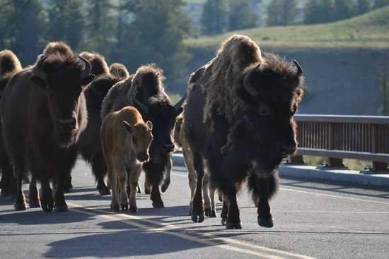 Jackson Hole Wildlife Safaris - Day Tours: A herd of bison