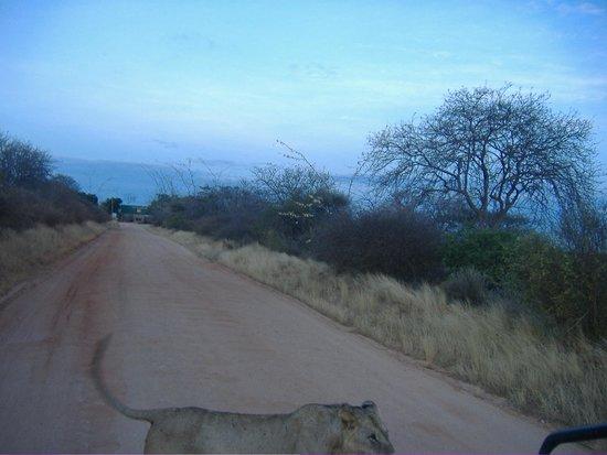 Steve & Richard Day Tours & Safaris : lioness