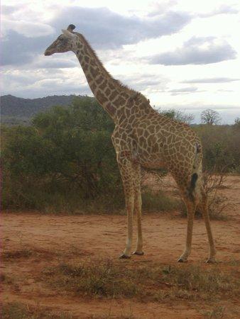 Steve & Richard Day Tours & Safaris : Giraffe