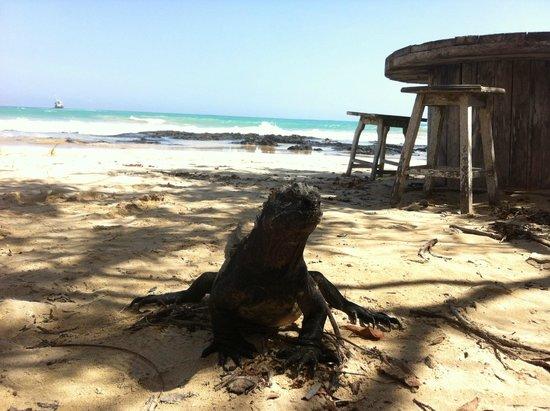 Hostal Galapagos: Una de las iguanas que puedes ver estando en el bar