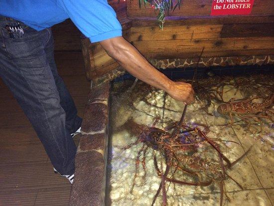 Skipjack's Seafood Grill, Bar & Fish Market: 10lb Caribbean Lobster