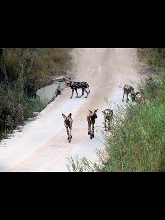 Dulini Lodge: wild dogs