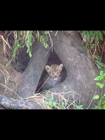 Dulini Lodge: baby leopard