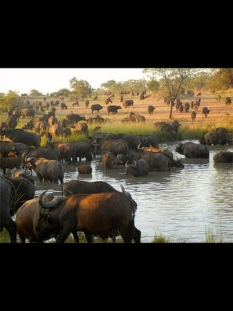 Dulini Lodge: buffalo