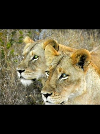Dulini Lodge : lions