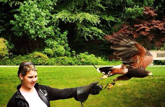 Ireland's School of Falconry : Setting Swift off to fly. June 2014