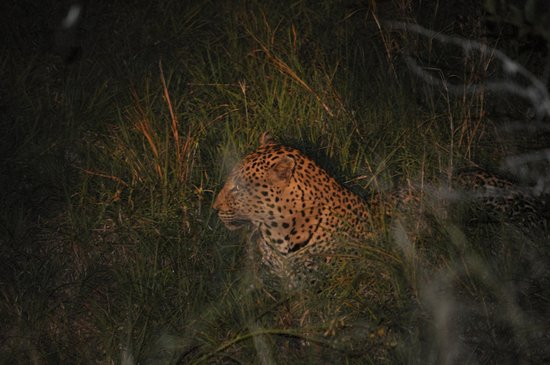 nThambo Tree Camp: Leopard fotograferad under en gamedrive. Apr. 2014. Apr. 2014