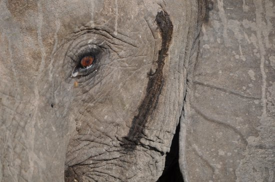 nThambo Tree Camp : Elefant fotograferad under en gamedrive. Apr. 2014