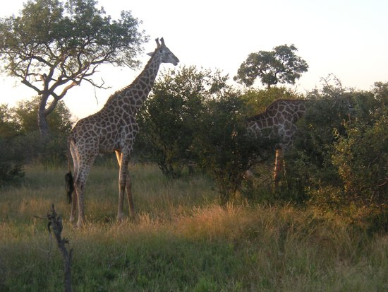 nThambo Tree Camp : Giraff fotograferad under en gamedrive. Apr. 2014