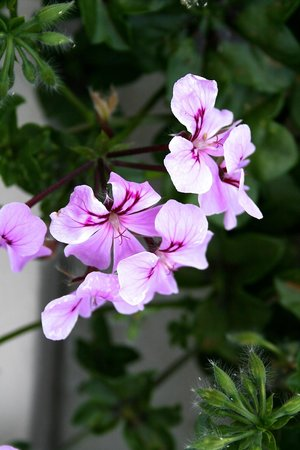Hotel Laguna Mediteran: Geraniums on all the balconies