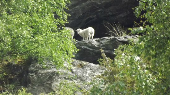 Flåm Hiking AS : Even met and conversed with some of the local sheep ! ! !   baaa   baaa