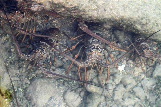 Casa Morada : Lobsters