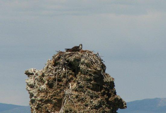 Mono Lake Committee Information Center & Bookstore: Osprey nesting on a tufa column
