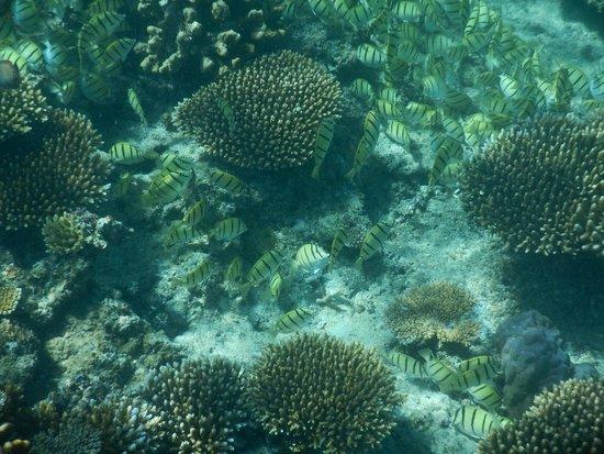 Mana Island Resort: Snorkelling