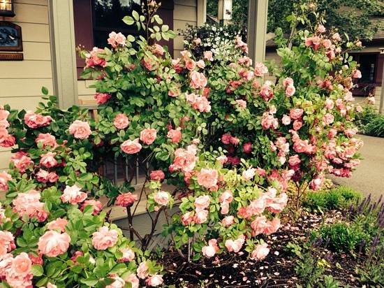 Bridge Street Cottages: brautiful Roses near our cabin, number 21