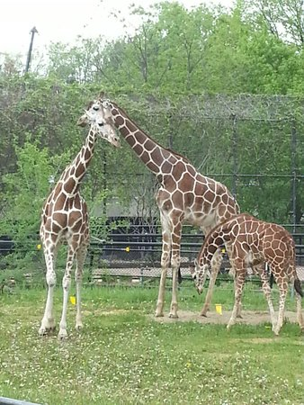 Como Park Zoo & Conservatory: Giraffes!