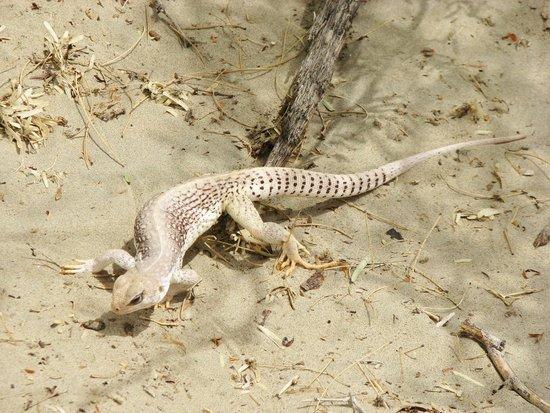 Mesquite Flat Sand Dunes : cute izard