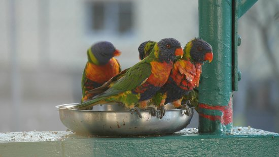 Bush Village Budget Cabins: Lorikeets Bathing 2014