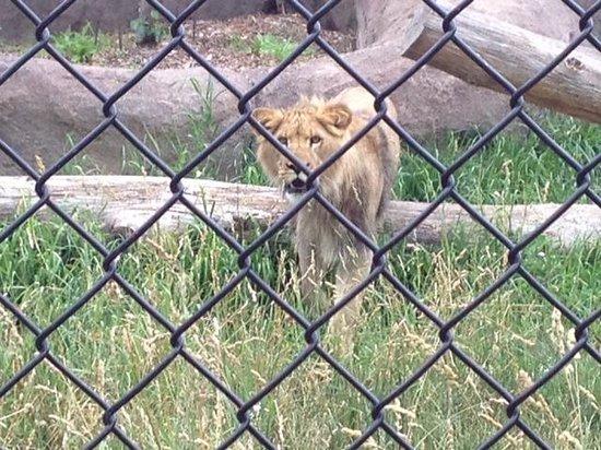 Seneca Park Zoo: Lions