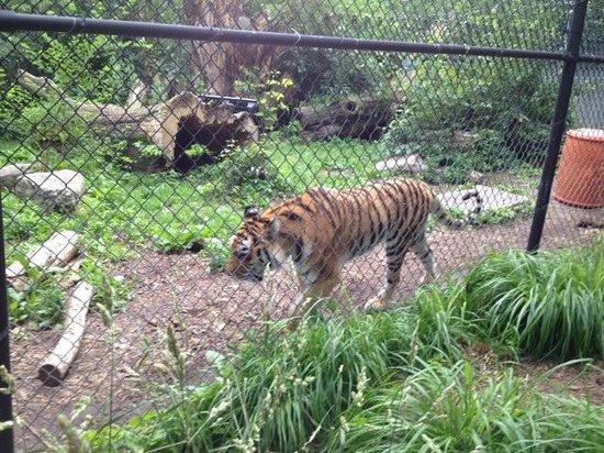 Seneca Park Zoo: Tigers