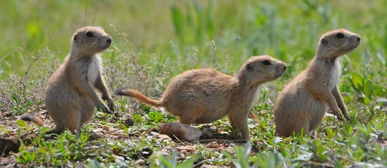 Custer State Park: prairie dog
