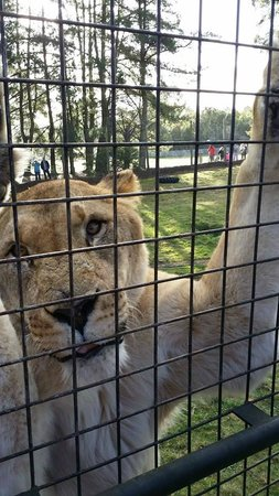 Orana Wildlife Park: The Lion Encounter