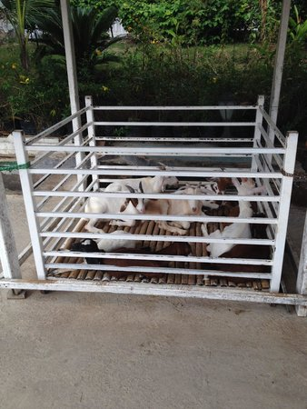 Hua Hin Sam Phan Nam Floating Market : Goats treated very cruelly