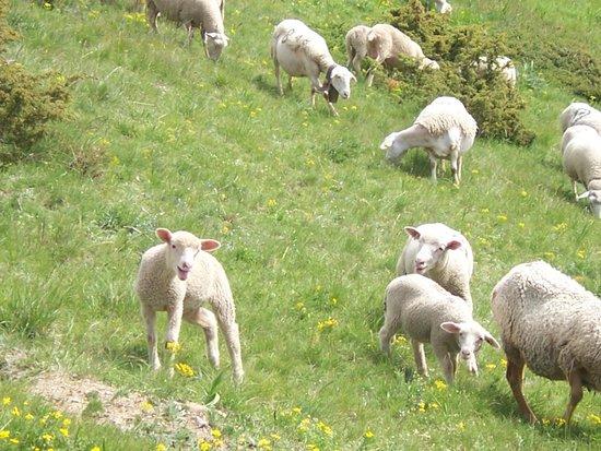 Club Med Serre-Chevalier: Moutons au cours d'une randonnée