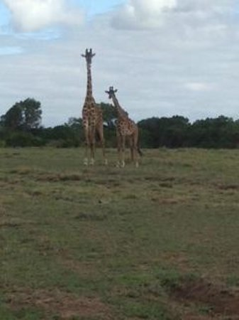 Fairmont Mara Safari Club : Giraffe