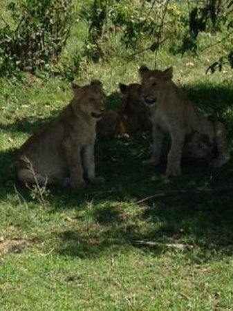 Fairmont Mara Safari Club : Lion Cubs
