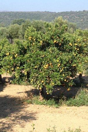 Castello Antico Beach Hotel: Orangenplantagen grenzen an die Anlage