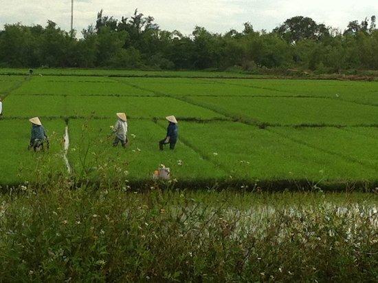 Hoi An Glory Hotel & Spa : Rice fields on tour