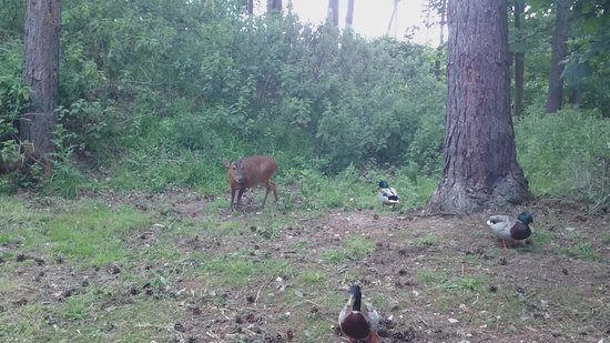 Center Parcs Elveden Forest: Deer in our back garden!