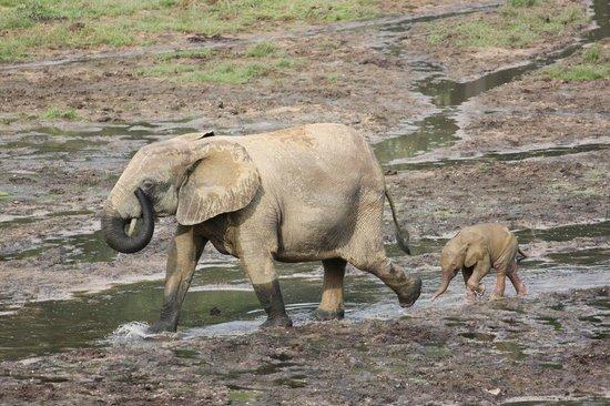 Bayanga, République centrafricaine : Sangha Bai elephants
